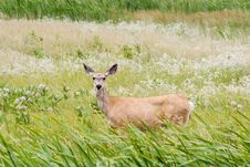 Free Doe In The Grass Royalty Free Stock Images - 310669