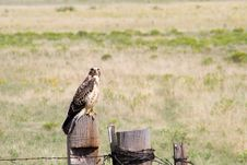 Free Hawk 1 Stock Image - 310731