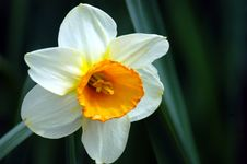 Free Daffodil Stock Photography - 312332
