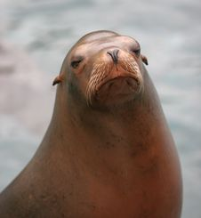 Free Sealion Stock Photo - 313420
