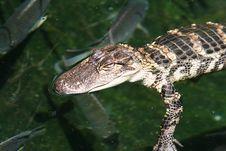 Free Baby Gator Stock Photos - 313423