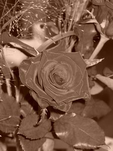 Free Red Rose (Sepia) Stock Photography - 314192