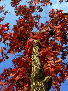 Free Red Autumnal Leaves Royalty Free Stock Photos - 314558
