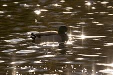 Free Mallard Silhouette Royalty Free Stock Photos - 314858