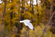 Free Speeding Seagull Royalty Free Stock Photos - 314878
