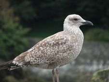 Free Seagull Royalty Free Stock Photography - 315357