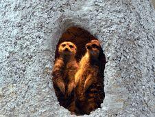 Free Meerkats Royalty Free Stock Image - 315806