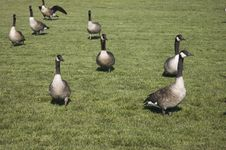 Free Geese Stock Images - 315874