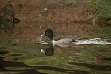 Free Little Duck Stock Image - 316891