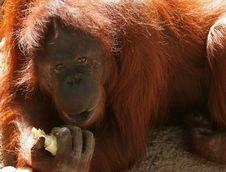 Free Orangutan In The Sun Royalty Free Stock Images - 317009