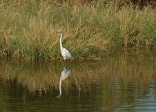 Free White Wader Stock Photography - 317012