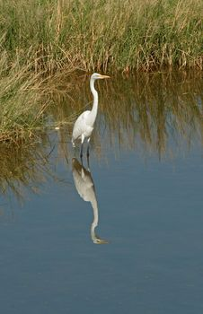 Free Great Egret Wading - 1 Royalty Free Stock Photography - 317017