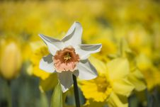 Free Lonely Daffodil Royalty Free Stock Photos - 317128