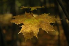 Free Autumn Leaf Stock Image - 319331