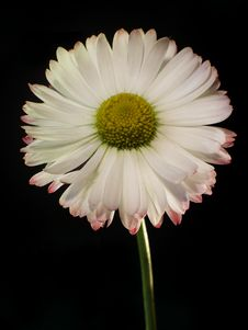 Free Single Daisy 1 Royalty Free Stock Photos - 319368