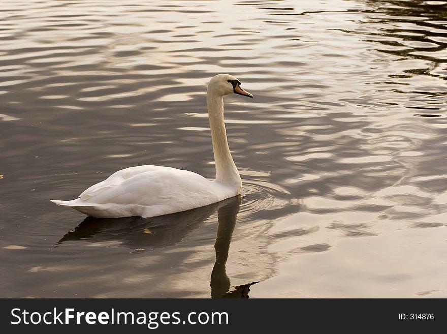 Quiet pond swan