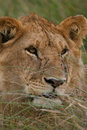 Free African Lion Stock Images - 3104104