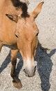 Free Przewalski S Horse 1 Royalty Free Stock Images - 3104469
