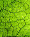Free Underside Of A Green Leaf 20 Royalty Free Stock Image - 3106326