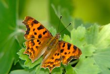 Free Butterfly Collecting Nectar Royalty Free Stock Photo - 3100585