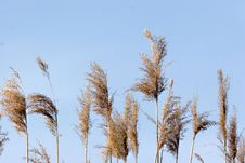 Free Reeds Stock Photos - 3100693