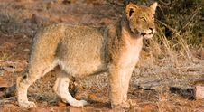 Free Lion Cub Royalty Free Stock Images - 3100759