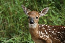 Free Whitetail Deer Fawn Stock Image - 3102121