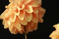 Yellow/Orange Dahlia Flower Stock Photos