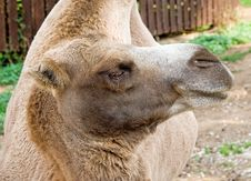 Free Bactrian Camel 5 Royalty Free Stock Image - 3103296