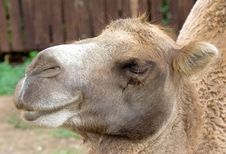 Free Bactrian Camel 7 Royalty Free Stock Images - 3103449