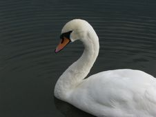 Free Beautiful Swan Stock Photos - 3103463