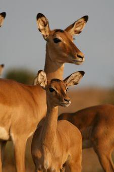 Free Impala Antelopes Royalty Free Stock Photos - 3103938