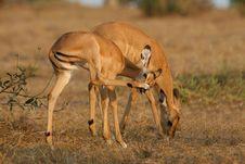 Free Impala Antelope Foals Royalty Free Stock Photos - 3103948