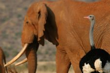 Ostrich Watching Elephant Stock Image