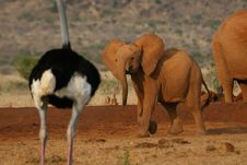 Elephant And Ostrich Stock Photos