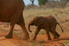 Free African Elephant Calf Stock Image - 3104061
