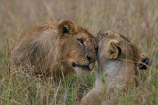 Free Lion Cuddle Stock Images - 3104144
