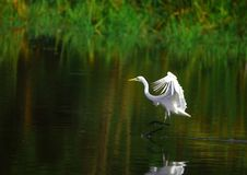 Free Egret Royalty Free Stock Images - 3104189