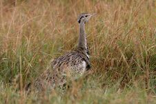 Free Black-bellied Bustard Stock Photo - 3104190
