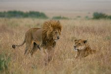 Free Lion Couple On Honeymoon Royalty Free Stock Image - 3104206