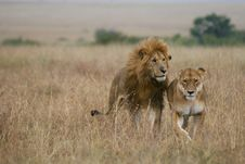 Free Lion Couple On Honeymoon Royalty Free Stock Photos - 3104218
