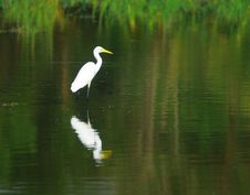 Free Egret Stock Images - 3104314
