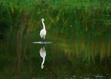 Free Egret Royalty Free Stock Photo - 3104525