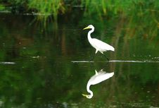 Free Egret Royalty Free Stock Photos - 3104538