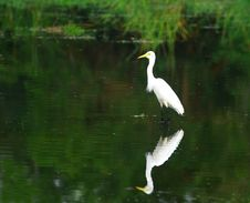 Free Egret Stock Photo - 3104590