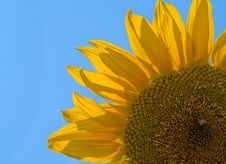 Free Part Of Sunflower Stock Photo - 3104600