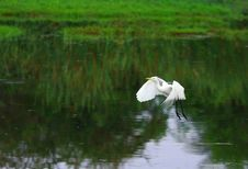Free Egret Stock Photo - 3104610