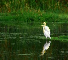 Free Egret Stock Photography - 3104622