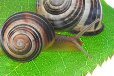 Free Snail Royalty Free Stock Photography - 3104637