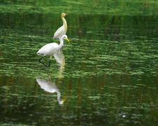 Free Egret Reflection Royalty Free Stock Photography - 3104697